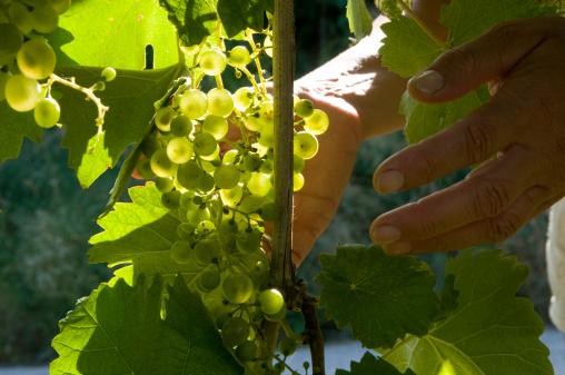 Bunch of grapes Prosecco wine