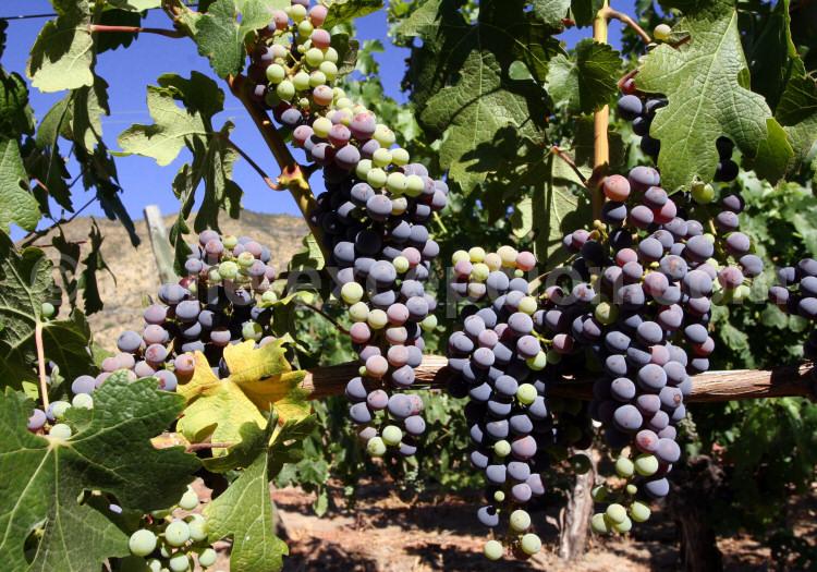 les cépages - importateur de vins du chili et d'argentine