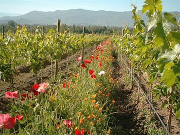 les cépages - importateur de vins chiliens - Emiliana