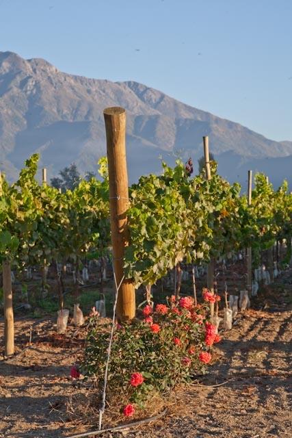 les cépages - importateur de vins chiliens La ronciere