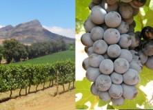 Les vendanges 2013 à Stellenbosch (Afrique du Sud)