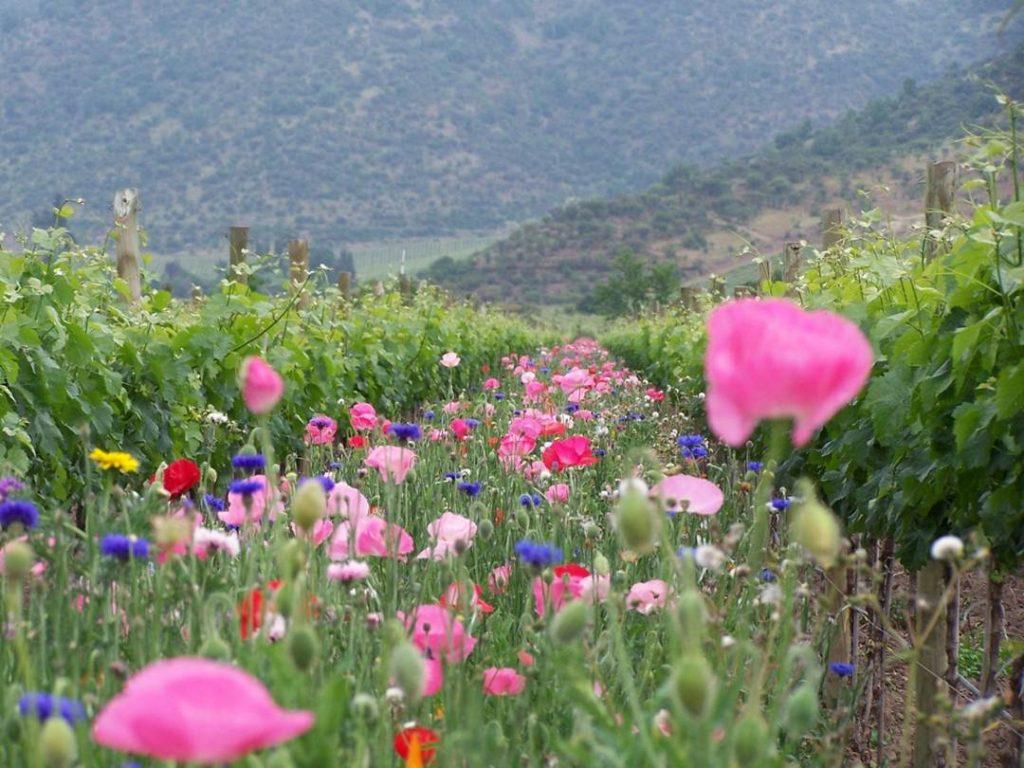 emiliana_vineyards_blom